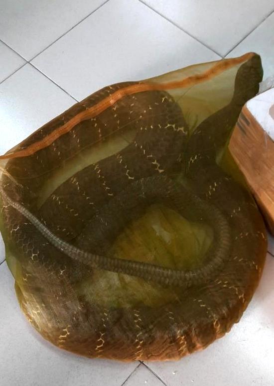 Con rắn hổ mang chúa 20 kg lúc được cảnh sát thu giữ hôm 17/9. Ảnh: Công an cung cấp.
