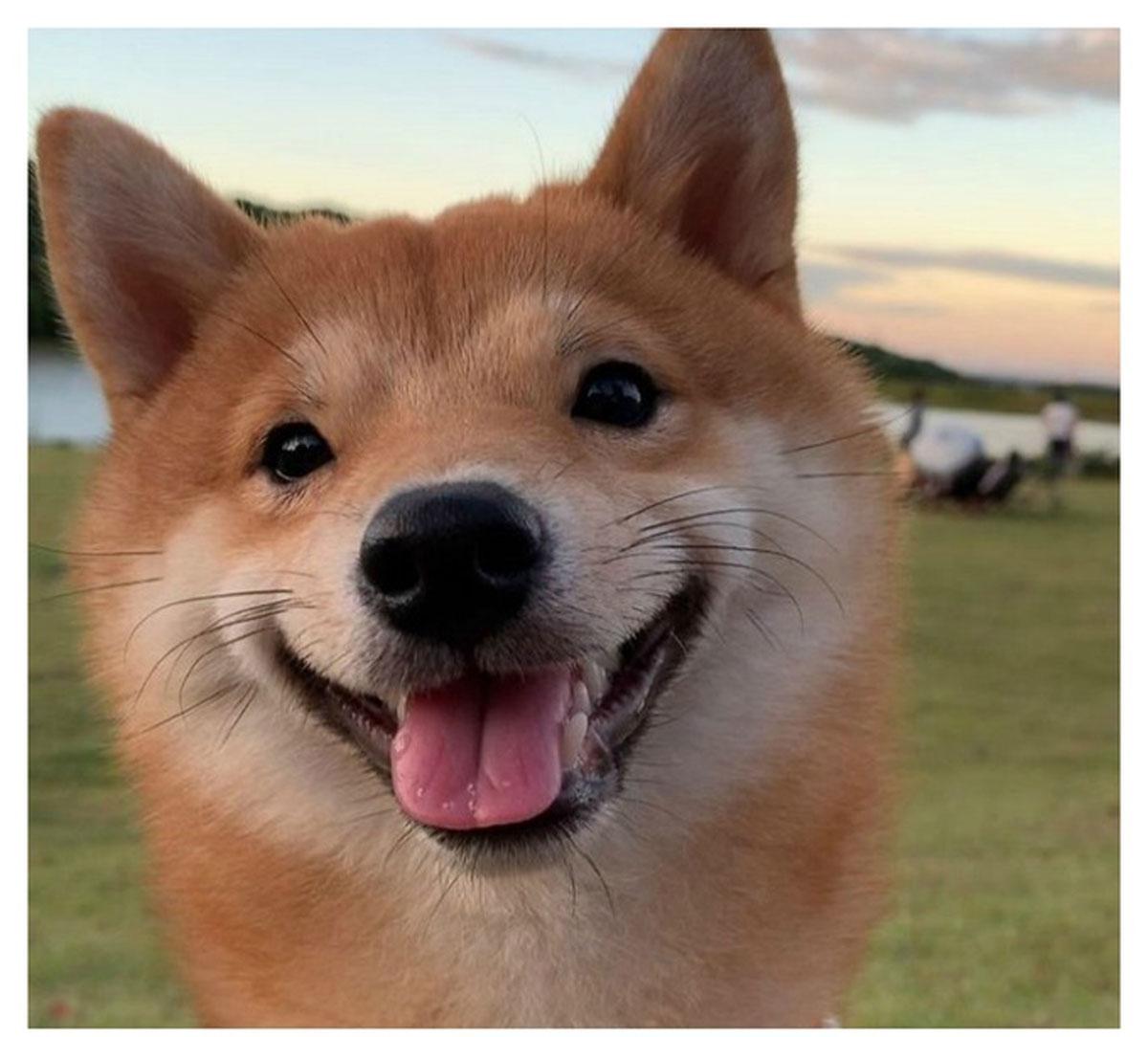 Chó Shiba nổi tiếng vì hay cười