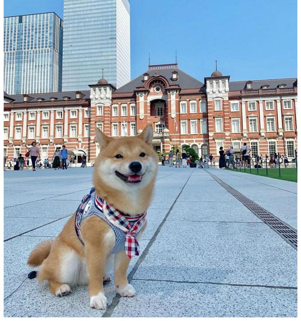 Chó Shiba nổi tiếng vì hay cười - 14