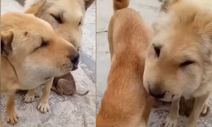 Hai chó cưng sưng mặt vì phá tổ ong