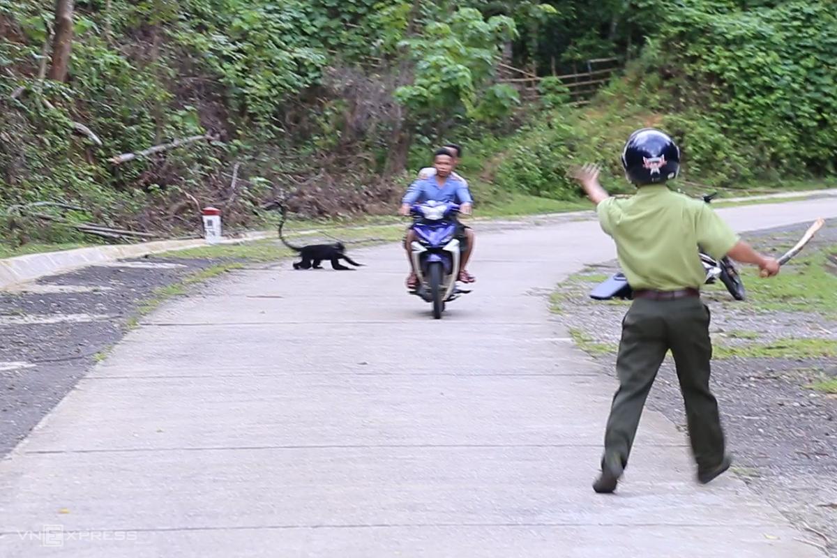 Một con voọc lao ra tấn công hai người dân đi đường, trong khi kiểm lâm túc trực dùng dậy tìm cách xua đuổi. Ảnh: Hoàng Táo