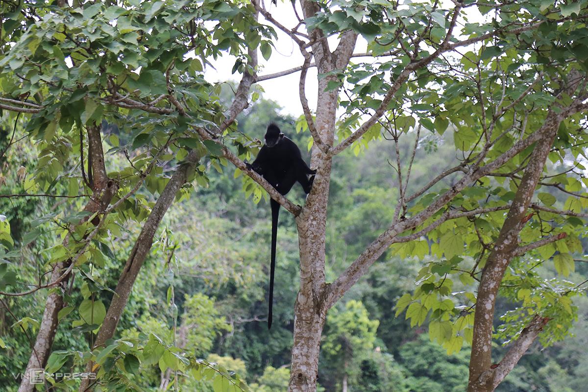 Một con voọc ngồi trên cây khoảng bốn mét, sát lề đường Hồ Chí Minh chờ tấn công người đi đường. Ảnh: Hoàng Táo