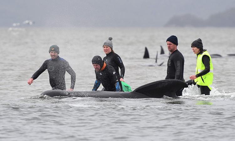 Các đội cứu hộ đang khẩn trương giải cứu cá voi. Ảnh: Brodie Weeding.