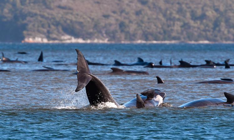 Cá voi hoa tiêu mắc cạn hàng loạt tại Tasmania. Ảnh: Brodie Weeding.