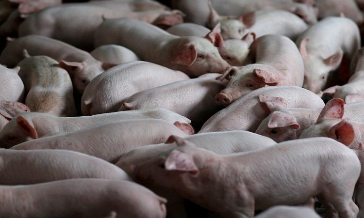 Phương pháp chỉnh sửa gene khiến nội tạng lợn trở nên an toàn và ít gây phản ứng đào thải hơn. Ảnh: Reuters.