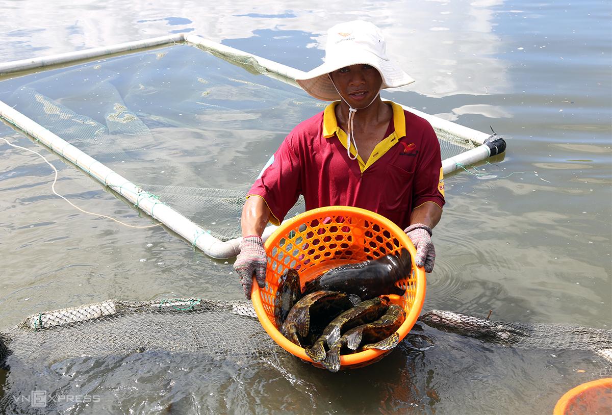 Cá mú của ông Võ Đình Trí nuôi trong ao ở Cam Ranh đã đạt 1,2-1,5 kg, nhưng chưa thể xuất bán. Ảnh: Xuân Ngọc.