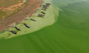 Tảo xanh phủ kín mặt hồ Trị An