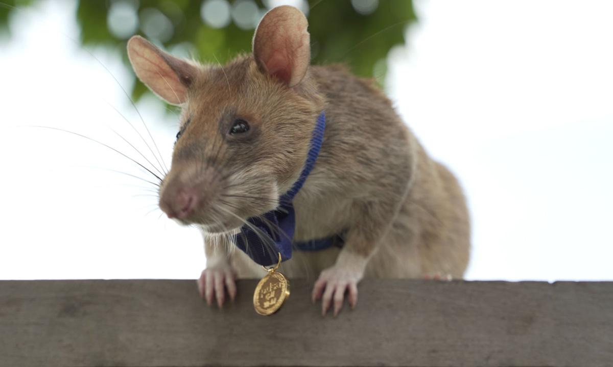 Magawa, con chuột túi châu Phi do APOPO huấn luyện, đeo huy chương vàng của tổ chức PDSA. Ảnh: PDSA.