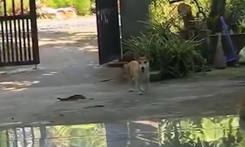 Chó cưng cầu cứu chủ khi gặp đối thủ khổng lồ - 3