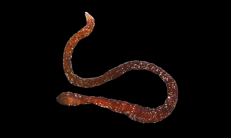 Loài giun ruy băng mới được phát hiện tại vùng biển Panama. Ảnh: Natsumi Hookabe.