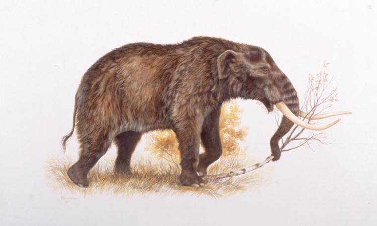 Đồ họa mô phỏng voi răng mấu. Ảnh: Đại học Alaska.