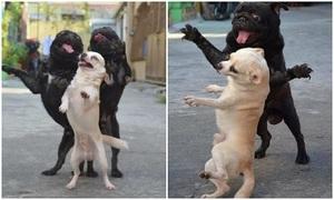 Ba chó cưng hóa dancer