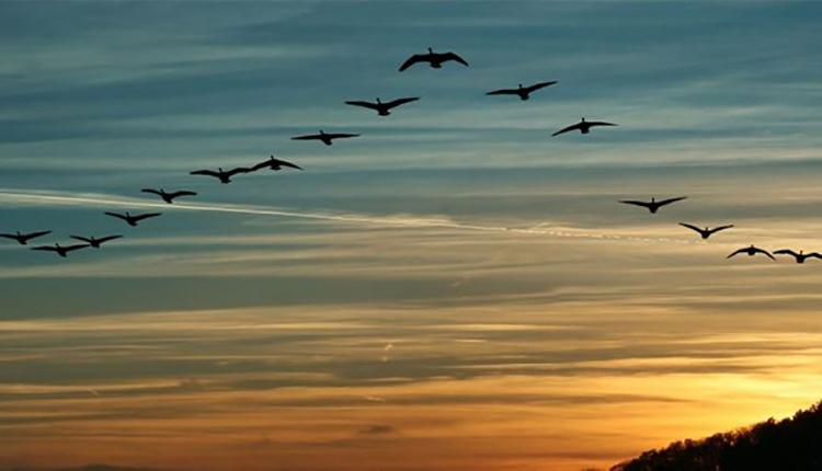 Đàn chim thường bay hình chữ V. Ảnh: ST