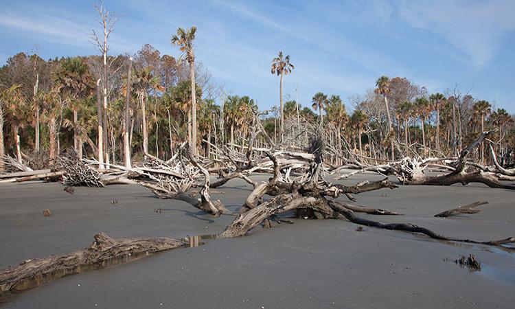 Một cánh rừng ma khác trên đảo Capers ở Carolina. Ảnh: NOAA.