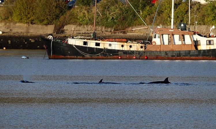 Đàn cá voi tách ra và lặn sâu xuống nước khiến đội cứu hộ không thể lùa chúng ra biển khơi. Ảnh: PA.