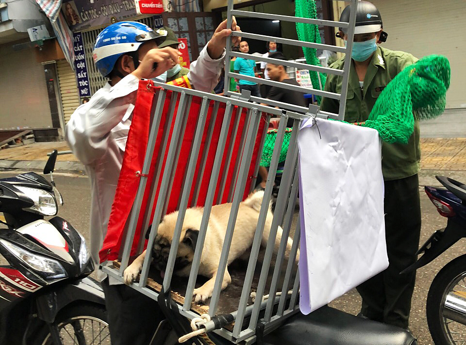 Một con chó thả rông không rọ mõm bị bắt tại phường Phúc Xá, quận Ba Đình. Ảnh: Minh Hải.