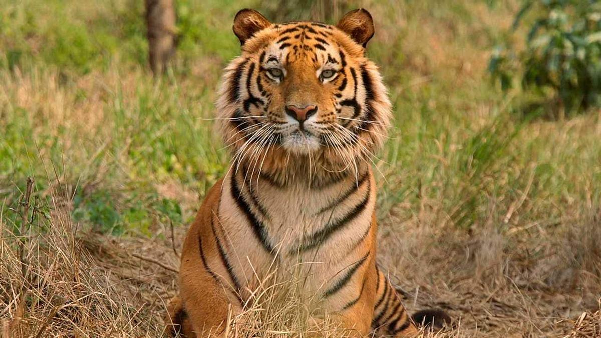 Một con hổ tại khu bảo tồn động vật hoang dã Jaldapara, gần Siliguri ngày 21/2. Ảnh: Reuters.