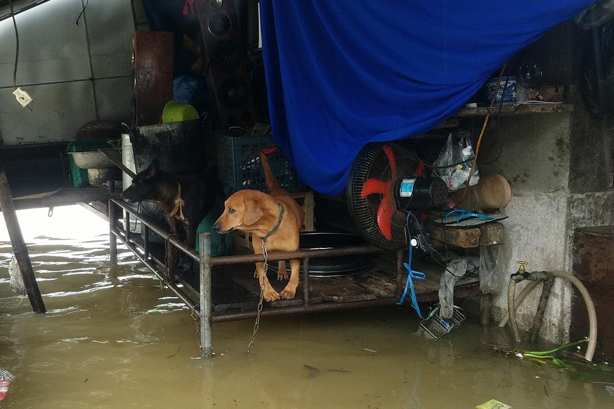 Hai chú chó được người dân đưa lên giường tránh nước lũ. Ảnh: Võ Thạnh