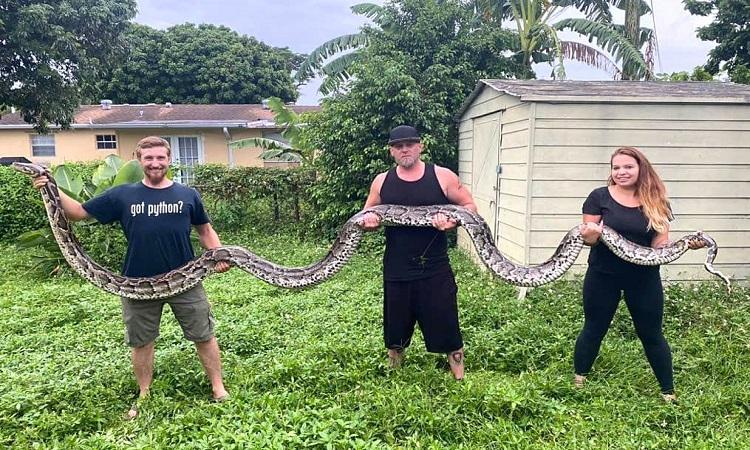 Con trăn dài gần 6 m bị bắt hôm 2/10. Ảnh: Everglades Holiday Park.