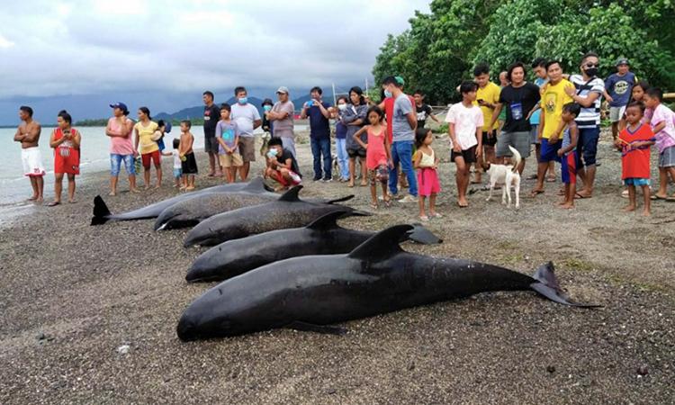 Ít nhất 15 con cá voi đã chết bất chấp nỗ lực giải cứu. Ảnh: Rappler.