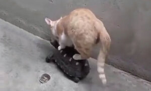 Mèo cưỡi rùa đi dạo