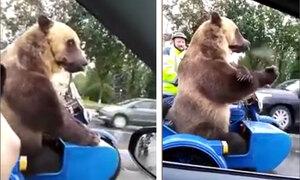 Gấu dạo phố cùng ông chủ