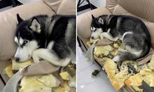 Cún cưng làm mặt tội khi phá nát ghế