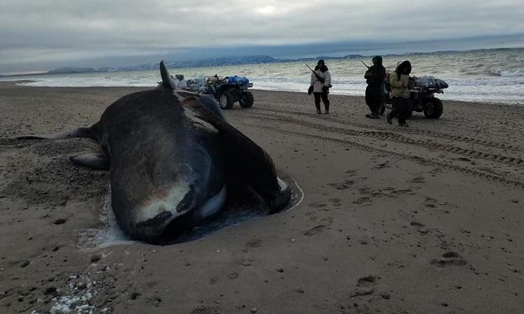 Một trong 4 con cá voi đầu cong dạt vào bờ biển gần Kugaaruk. Ảnh: Rene Kukkuvak.
