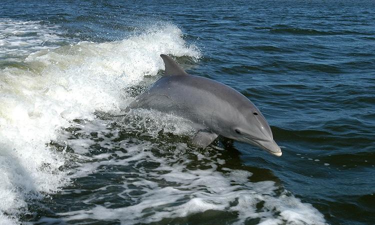 Cá heo mũi chai không sinh sống phổ biến ở biển Baltic ngoài khơi Đức. Ảnh: Wikipedia.