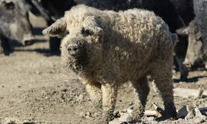 Lợn có ngoại hình giống cừu, tính cách của chó