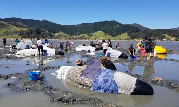 Hàng chục cá voi hoa tiêu mắc cạn tại bờ biển New Zealand vào cuối tuần trước. Ảnh: Dự án Jonah.