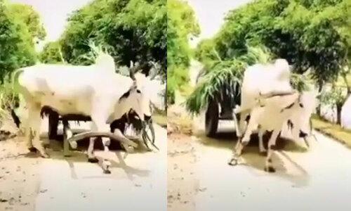 Hai con bò chơi đùa khi đi học - 2