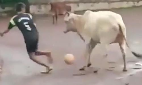 Hai con bò chơi đùa khi đi học - 1