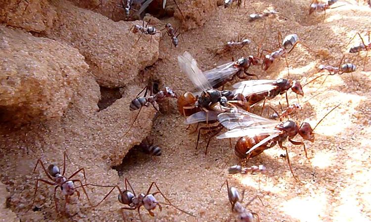 Kiến thợ và kiến chúa (có cánh) đều tiến hóa từ côn trùng bay. Ảnh: Philip Gronski.