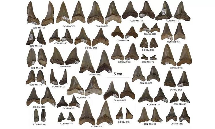 Những chiếc răng cá mập do nhóm nghiên cứu thu thập ở Nam Carolina. Ảnh: Addison Miller.