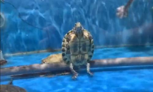 Rùa cưỡi cá sấu dạo trong hồ - 2