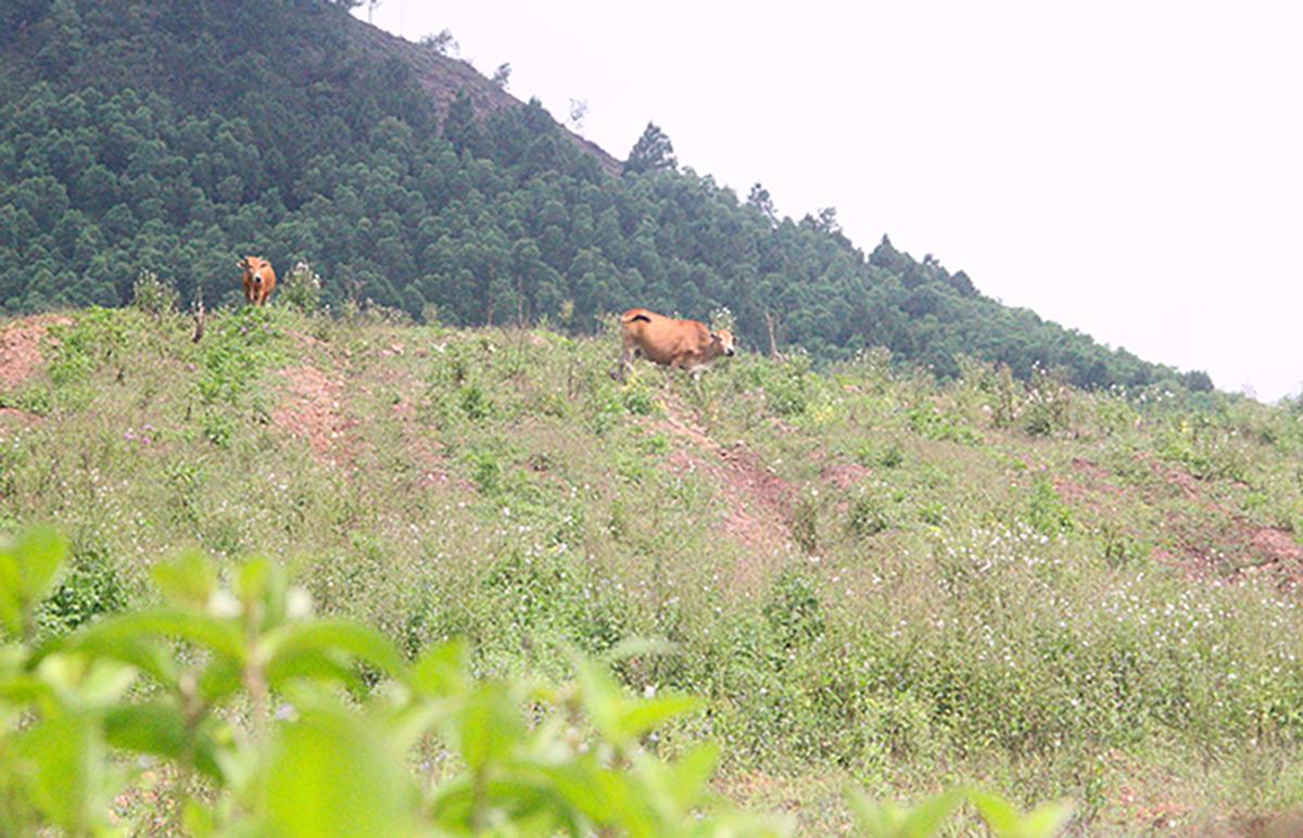 Một góc dự án nuôi bò của công ty Bình Hà ở Hà Tĩnh. Ảnh: Đức Hùng.