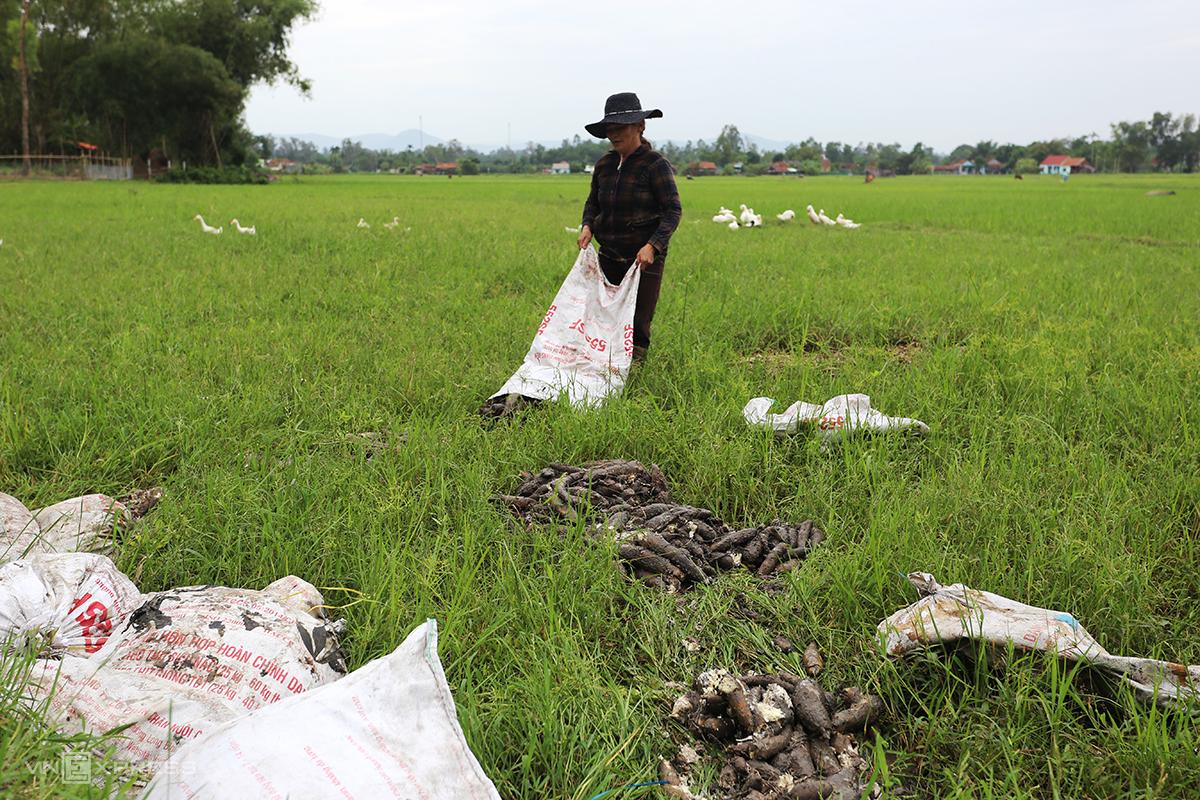 Bà Nguyễn Thị Phương chở 5 tấn sắn ra ruộng đổ làm phân bón. Ảnh: Đắc Thành.