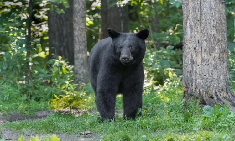 Con gấu cái tấn công người được tiêm trợ tử theo quy định của bang. Ảnh: Istock.