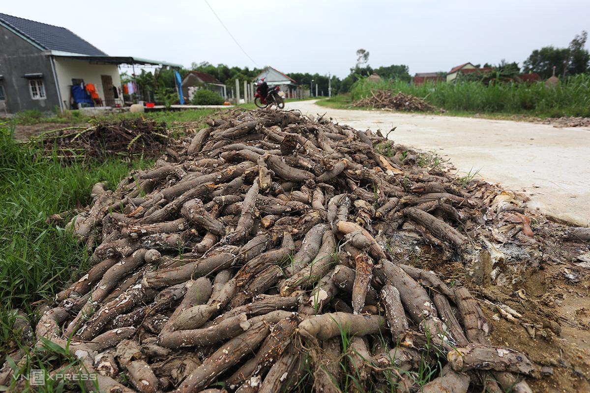 Sắn tập kết lên đường ở xã Quế Mỹ, huyện Quế Sơn không có người mua bị hỏng, bốc mùi hôi thối. Ảnh: Đắc Thành.