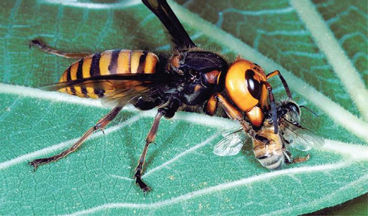 Ong bắp cày khổng lồ châu Á kết liễu ong mật. Ảnh: Scott Camazine.