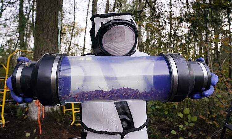 Xác ong bắp cày trong ống chứa. Ảnh: AP.