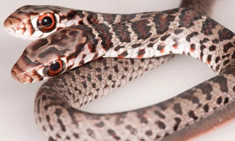 Con rắn lãi hai đầu không thể sống sót ngoài tự nhiên. Ảnh: FWRI.
