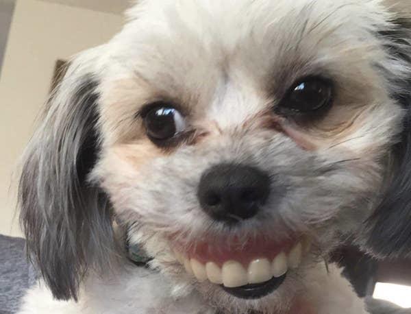 Chó cưng cười tươi vì trộm răng giả đeo lên mặt - 9
