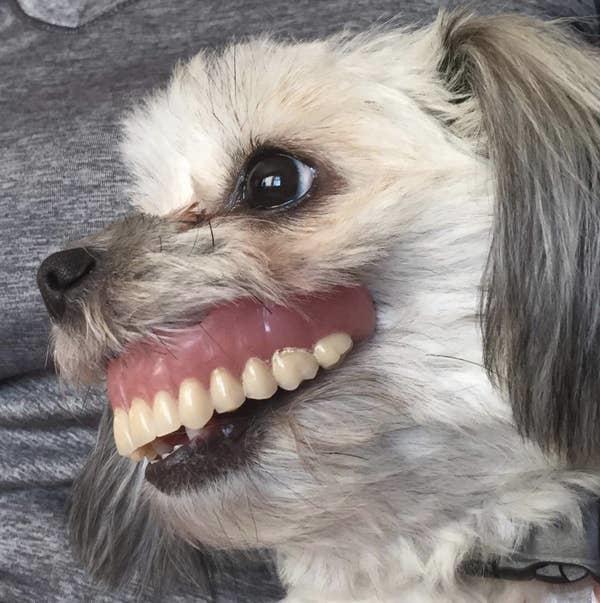 Chó cưng cười tươi vì trộm răng giả đeo lên mặt - 7
