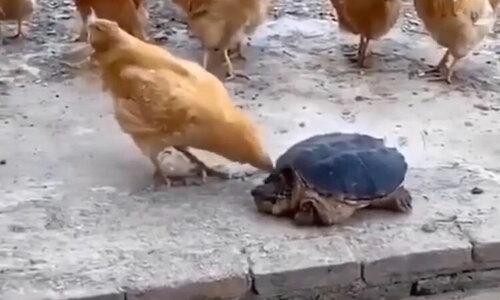 Rùa biển tán tỉnh người đẹp bikini - 1