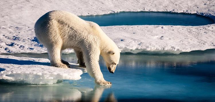 Một con gấu Bắc Cực thử độ cứng của lớp băng biển. Ảnh: AFP.