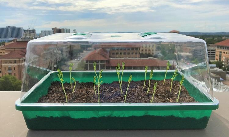 Củ cải đỏ trồng trên đất tự tưới. Ảnh: UT Austin.