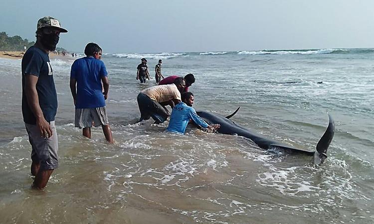 Cư dân địa phương giúp lực lượng cứu hộ đẩy cá voi mắc cạn trở lại biển. Ảnh: AFP.