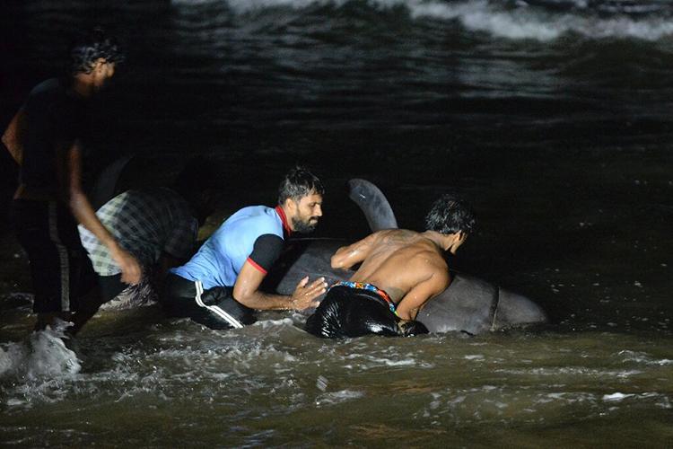 Một số con cá voi được giải cứu tiếp tục bơi trở lại bờ biển. Ảnh: AFP.